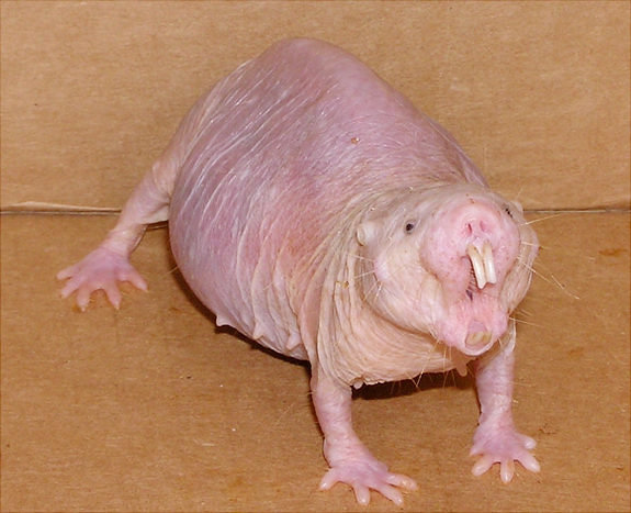 Mole rats found to live over 35 years, defy mortality laws